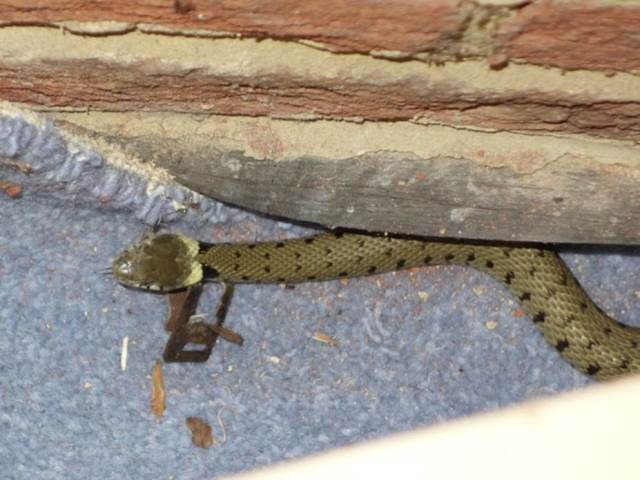 A grass snake had sought shelter from the hot, sunny weather